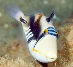 Picasso Triggerfish - NikonD70, 105mm by Larissa Roorda 